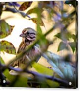 Chipping Sparrow In The Brush Acrylic Print