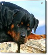 Chiron The Rottweiler  Acrylic Print