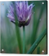 Chive Flower 2 Acrylic Print