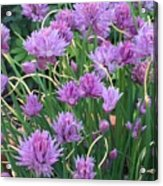 Chive Flowers Acrylic Print