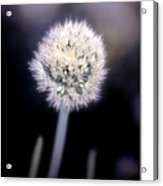 Chive Acrylic Print