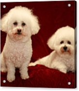 Chloe And Jolie The Bichon Frises Acrylic Print by Michael Ledray
