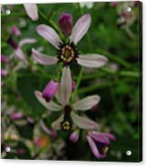 Chock Cherry Flower Acrylic Print