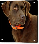 Chocolate Lab Acrylic Print by William Jobes