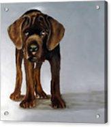 Chocolate Labrador Puppy Acrylic Print by Dick Larsen
