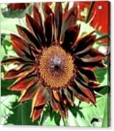 Chocolate Sunflower Acrylic Print