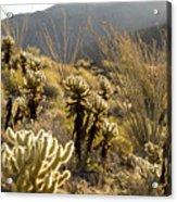 Cholla Cactus And Ocotillo Plants Acrylic Print