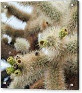 Cholla Cactus Garden Closeup Acrylic Print