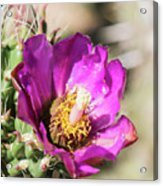 Cholla Flower Acrylic Print