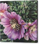Cholla Flowers Acrylic Print