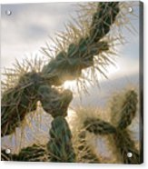 Cholla, Organ Pipe National Monument, Az  January 2015 Acrylic Print