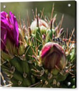 Cholla With Wasp Acrylic Print