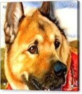Chow Shepherd Mix Acrylic Print
