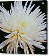 Chrisanthium On Black 2 Acrylic Print