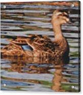 Christchurch New Zealand Grey Duck Acrylic Print