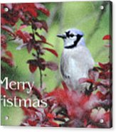 Christmas And Blue Jay Acrylic Print