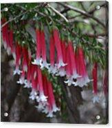 Christmas Bells 1 - Australian Native Fuchsia Acrylic Print
