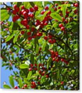 Christmas Berries Acrylic Print