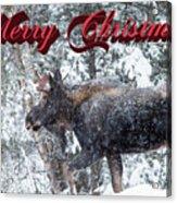 Christmas Bull Moose Acrylic Print