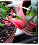 Christmas Cactus Bloom Acrylic Print