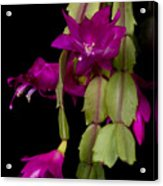 Christmas Cactus Purple Flower Blooms Acrylic Print by James BO  Insogna