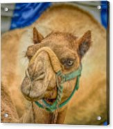Christmas Camel On Call Acrylic Print