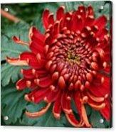 Christmas Chrysanthemum Acrylic Print