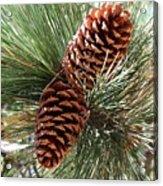 Christmas Pine Cones Acrylic Print