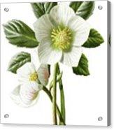 Christmas Rose Floral Illustration Acrylic Print