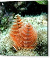 Christmas Tree Worm Acrylic Print