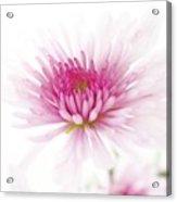 Chrysanthemum #003 Acrylic Print