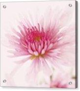 Chrysanthemum #004 Acrylic Print