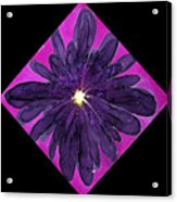 Chrysanthemum 2 Acrylic Print