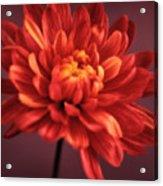 Chrysanthemum 7 Acrylic Print