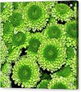 Chrysanthemum Green Button Pompon Kermit Acrylic Print