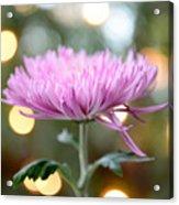 Chrysanthemum Happiness Acrylic Print