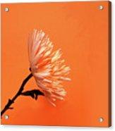 Chrysanthemum Orange Acrylic Print
