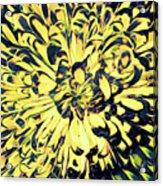 Chrysanthemum Pop Acrylic Print