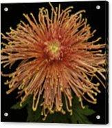 Chrysanthemum 'senkyo Kenshin' Acrylic Print