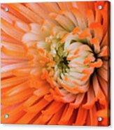 Chrysanthemum Serenity Acrylic Print