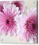 Chrysanthemums #009 Acrylic Print