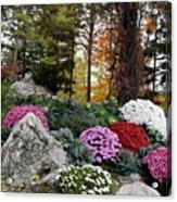 Chrysanthemums In The Garden Acrylic Print