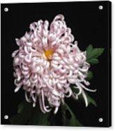 Chrysanthenmum 'satin Ribbon' Acrylic Print
