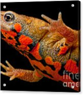 Chuxiong Fire Belly Newt Acrylic Print