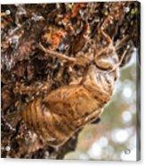 Cicada Exoskeleton Side Acrylic Print