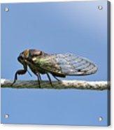 Cicada On The Line Acrylic Print