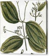 Cinnamon Tree, 1735 Acrylic Print