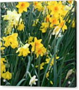 Circle Of Daffodils Acrylic Print