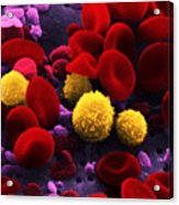 Circulating Human Blood, Sem Acrylic Print by Omikron