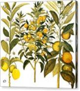 Citron And Orange, 1613 Acrylic Print